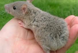 Una rata en casa
