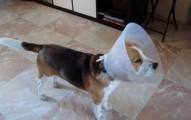 uso-del-collar-isabelino-para-perros_7wevl