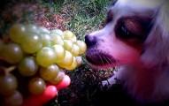 uvas-y-pasas-un-peligro-para-los-perros_2l0a4