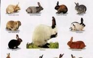 variedad-de-razas-de-conejos_cxybz