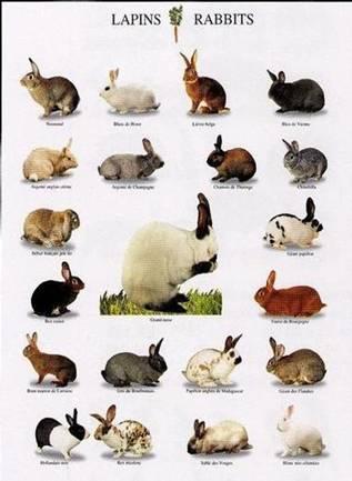 Variedad de razas de conejos